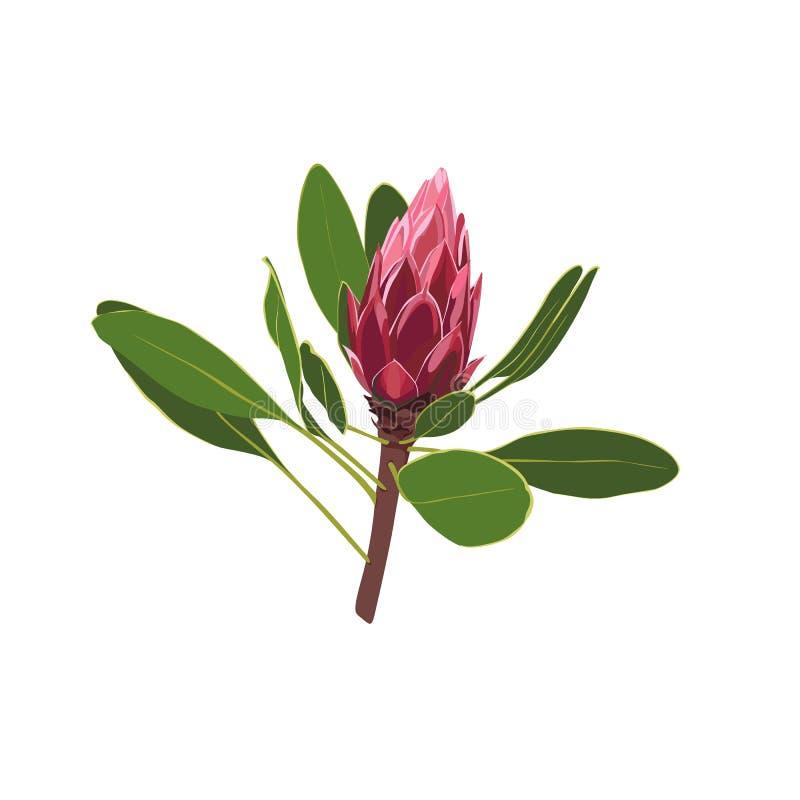 Inheemse Zuidafrikaanse Bloemen - exotische tropische die Protea op witte achtergrond wordt geïsoleerd vector illustratie