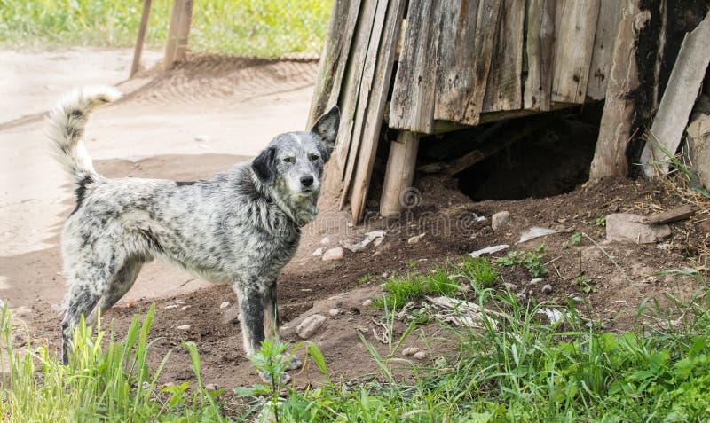 Inhemsk hund för grå byracka på en koppel arkivbild