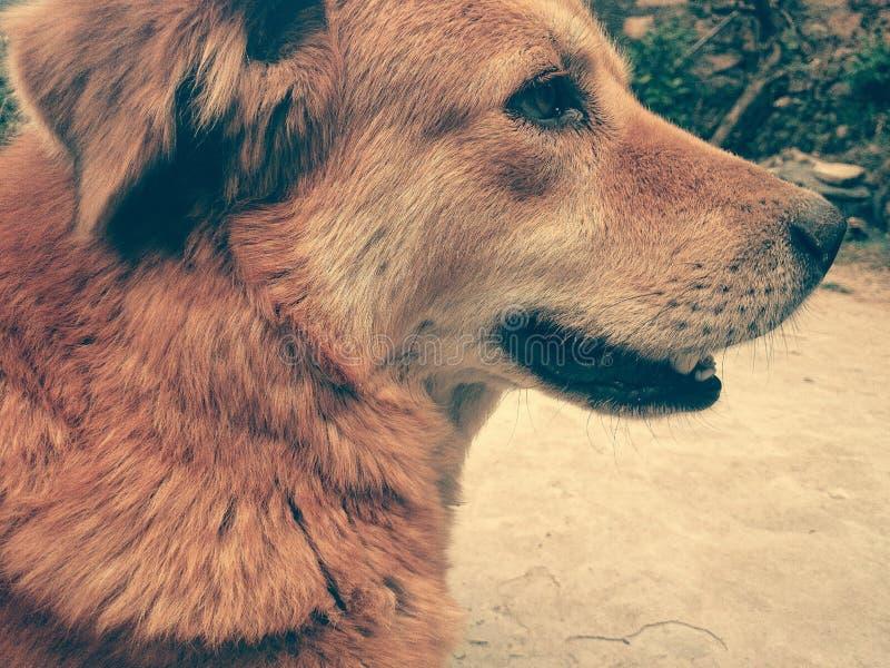 Inhemsk hund i Indien arkivbild