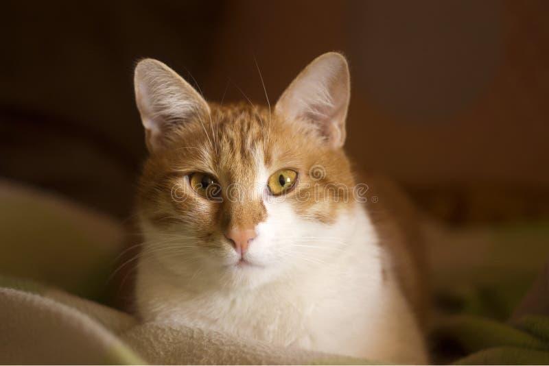 Inhemsk katt med ett uppmärksamt uttryck, kattframsida royaltyfri foto