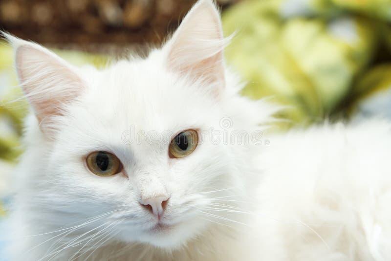 Inhemsk katt som ser kameran Det lyckliga ung flickainnehav hänger lös på en vitbakgrund royaltyfri foto