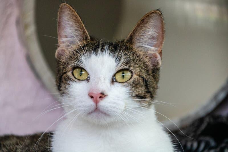 Inhemsk kort haired katt arkivbilder