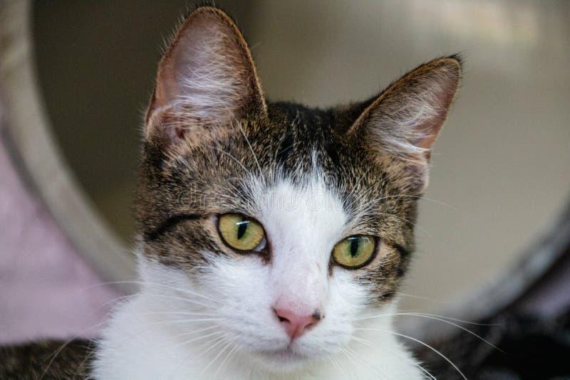 Inhemsk kort haired katt royaltyfri bild