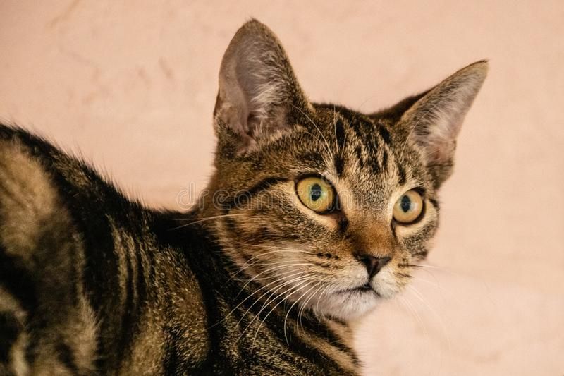 Inhemsk kort haired katt fotografering för bildbyråer