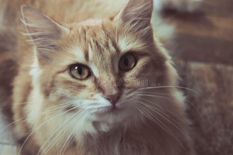 Inhemsk lång haired katt royaltyfri bild