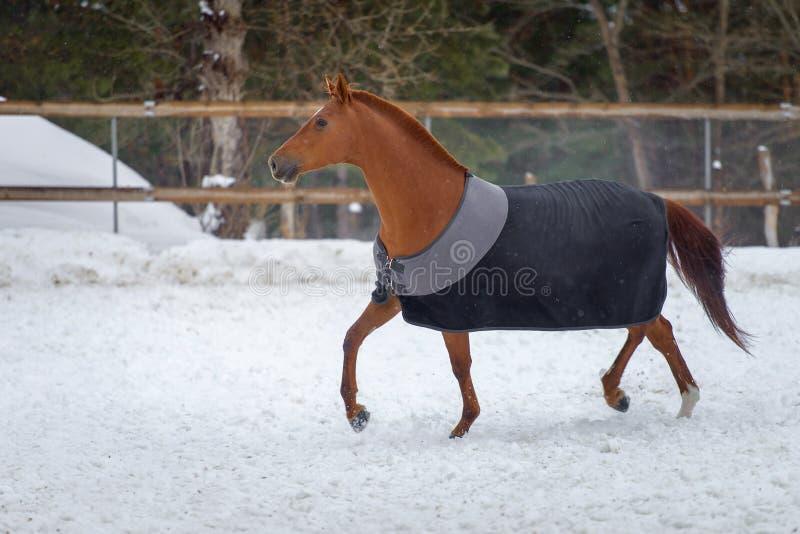 Inhemsk röd häst som går i snöpaddocken i vinter Hästen i filten royaltyfria bilder