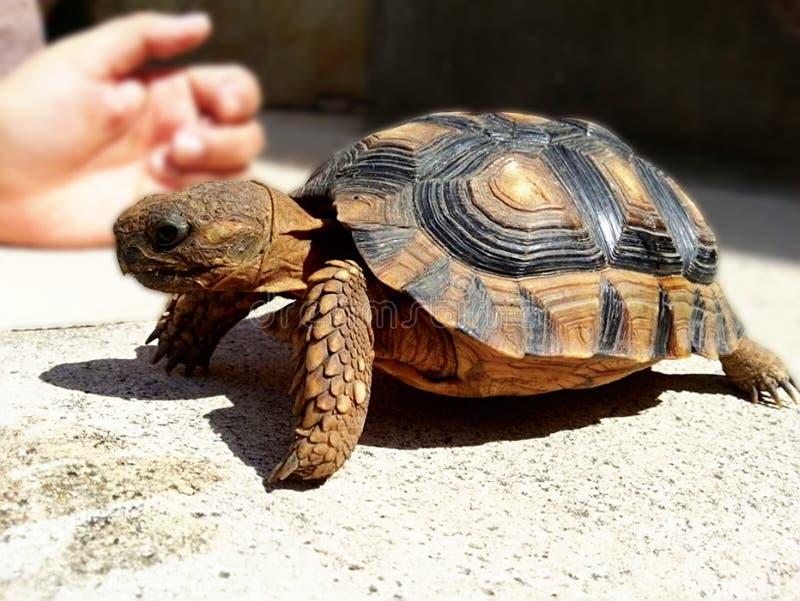 Inhemsk sköldpadda husdjur arkivbilder