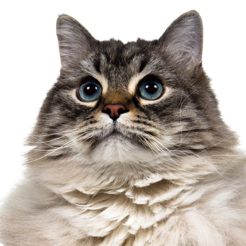 Inhemsk strimmig katt, fluffig siberian katt royaltyfri foto