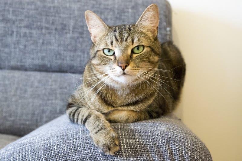 Inhemsk tigerkatt som ligger på den gråa soffan, ögonkontakt arkivbilder