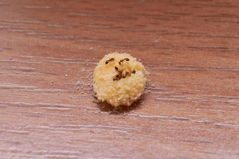 Inhemska myror äter lagat mat gift från äggula och bor- syra royaltyfria bilder