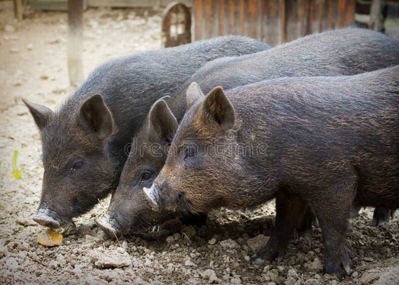 Inhemska svin på lantgård royaltyfri bild