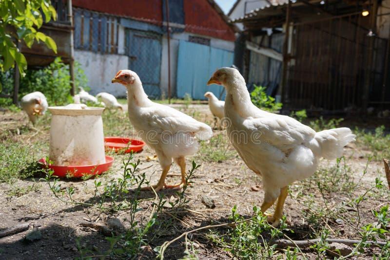 Inhemska vita hönor i gården royaltyfri fotografi