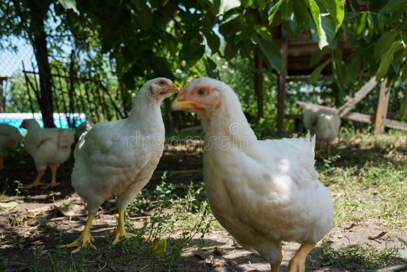 Inhemska vita hönor i gården royaltyfri foto