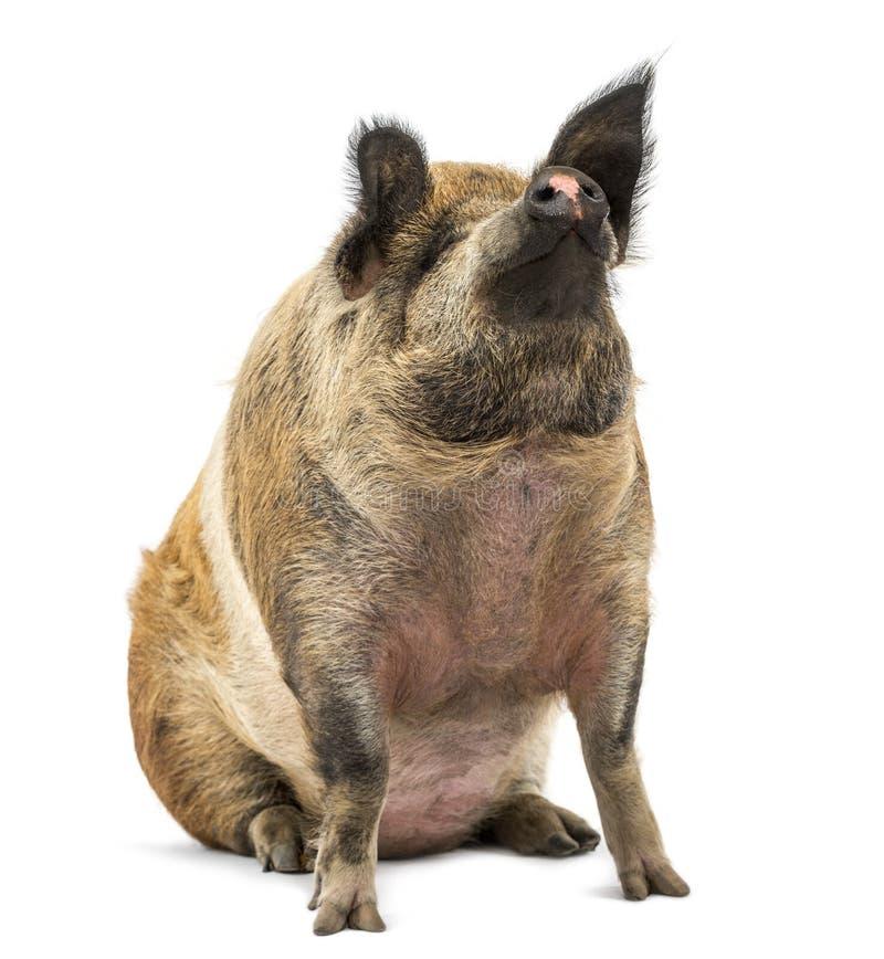 Inhemskt svin som sitter och ser upp, isolerat fotografering för bildbyråer