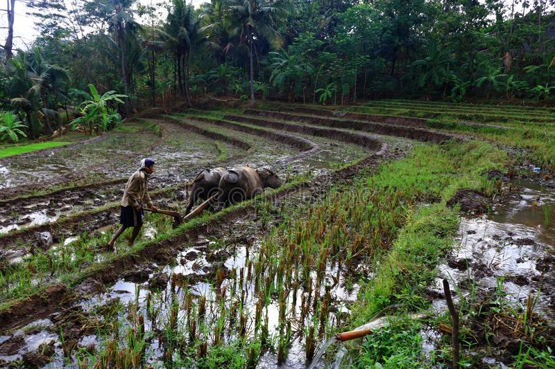 Rice Fields. The initial process of rice cultivation in paddy fields royalty free stock images