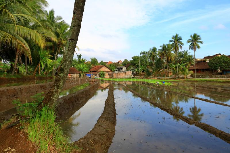 Rice fields. The initial process of rice cultivation in paddy fields royalty free stock image