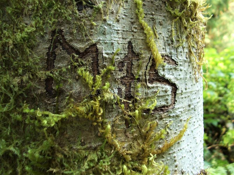 Initials M & S carved into the bark of an alder tree on the Sauk Falls trail in Darrington, WA royalty free stock photos
