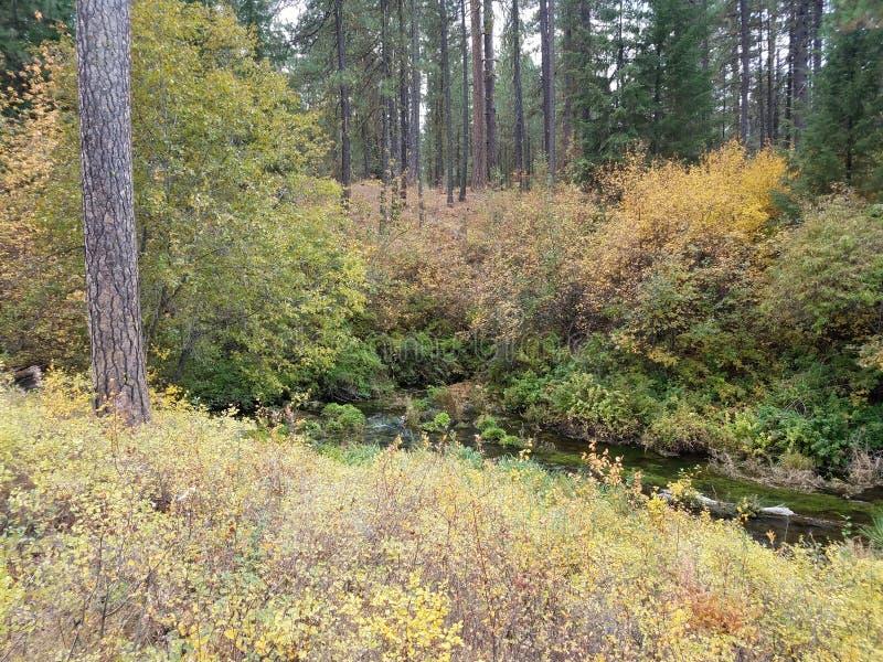 Inizio del fiume di Metolius nell'Oregon e dei pini nella foresta fotografie stock