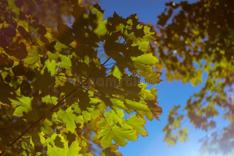 Inizio dell'autunno Ancora foglie verdi dell'acero contro il cielo blu Fuoco molle, defocused fotografia stock libera da diritti