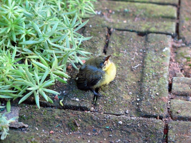 Inizio di IMG_2744a_Golden Yellowbirds un nuova vita fotografia stock