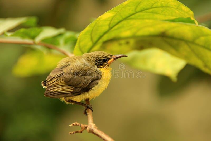 Inizio di IMG_1640_Golden Yellowbirds un nuova vita fotografia stock libera da diritti