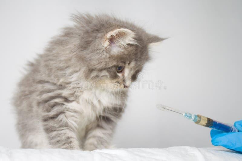 Injeção de doação veterinária ao kitte macio do racum de Grey Persian Little Maine na clínica do veterinário O gato olha à sering imagens de stock royalty free