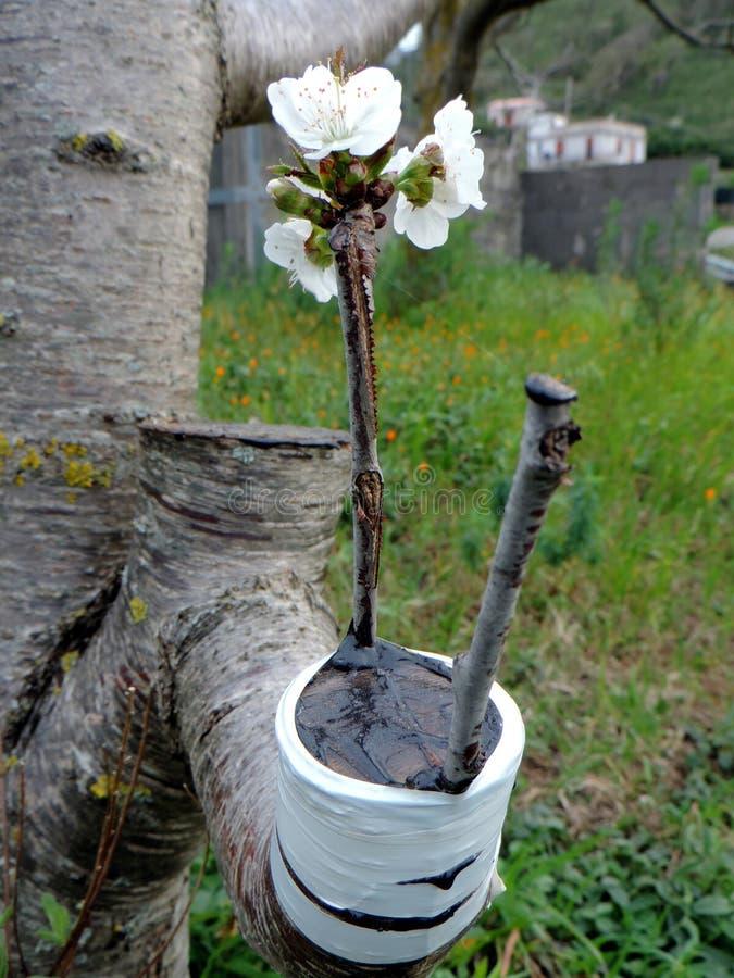 Injerto acertado en la rama de un cerezo imagen de archivo libre de regalías