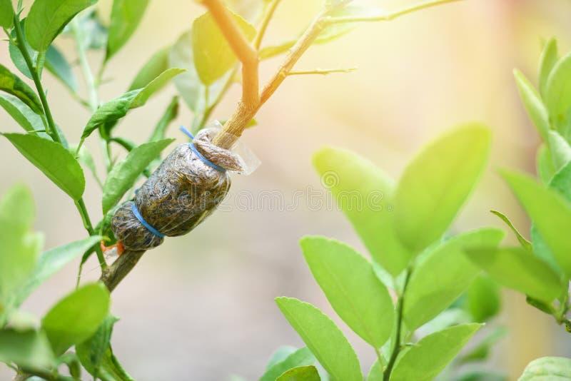 Injerto de la planta del árbol en rama de árbol de limón en granja orgánica de la agricultura/la propagación de la cal imagenes de archivo