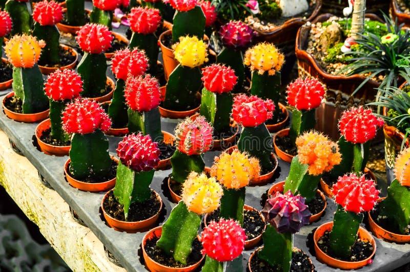 Injerto del árbol del cactus en jardín fotos de archivo libres de regalías