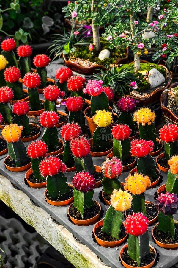 Injerto del árbol del cactus en jardín imagen de archivo