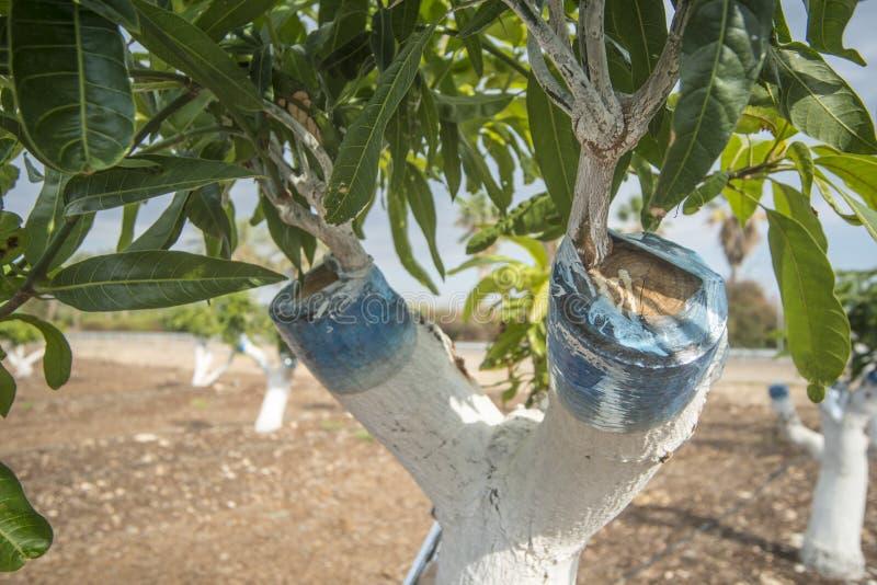 Injerto del árbol de mango fotografía de archivo libre de regalías
