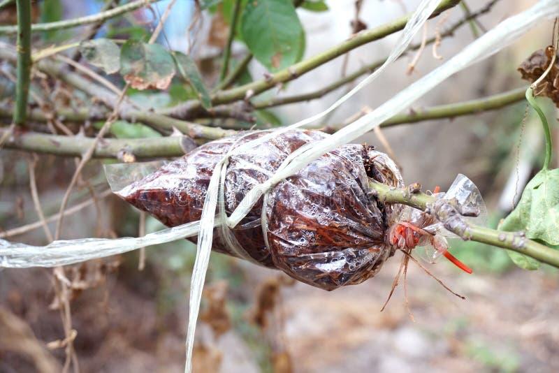 Injerto en rama de árbol en jardín fotografía de archivo