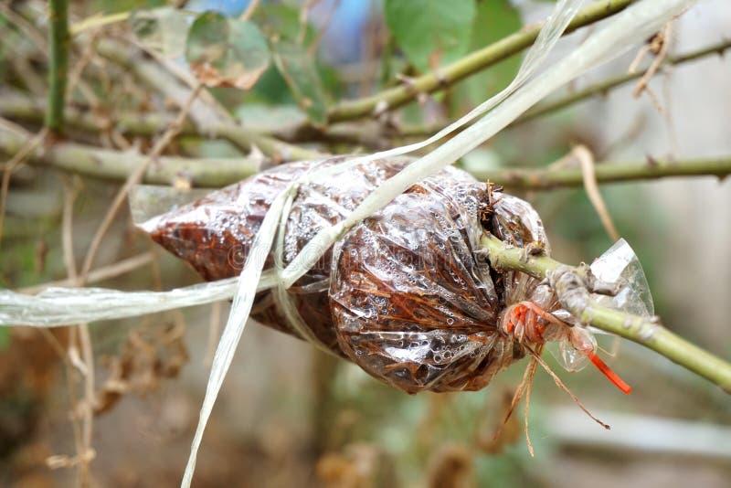 Injerto en rama de árbol en jardín foto de archivo libre de regalías