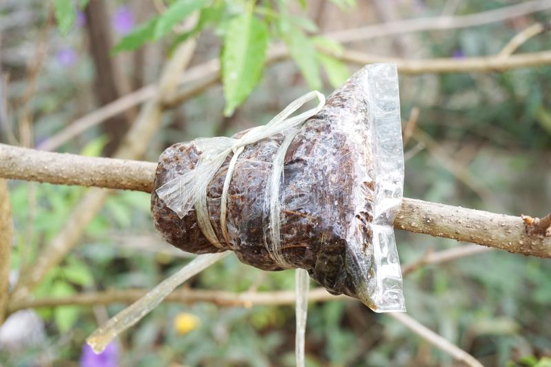 Injerto en rama de árbol en jardín fotos de archivo libres de regalías