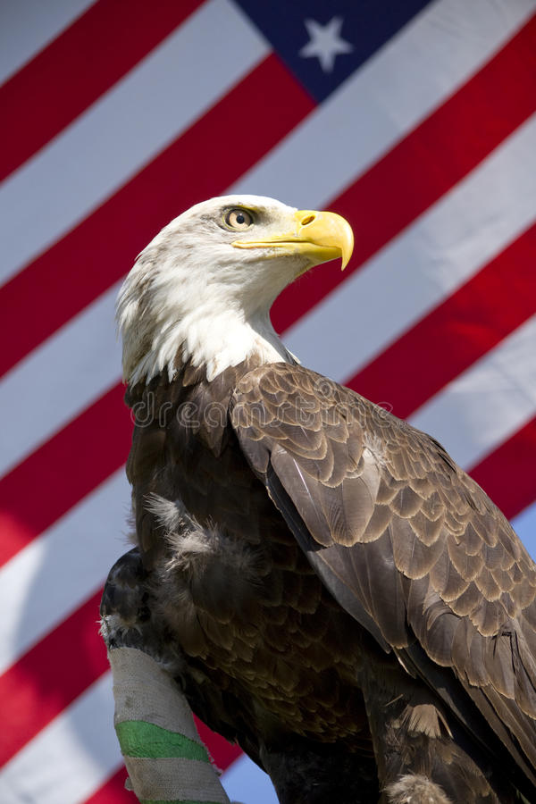 Injured bald aagle with flag