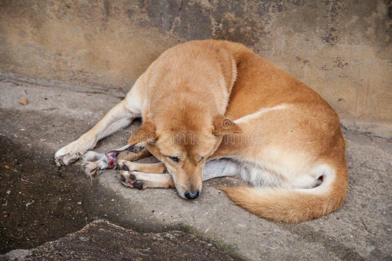 Injured, disabled dog lying on ground. royalty free stock photos