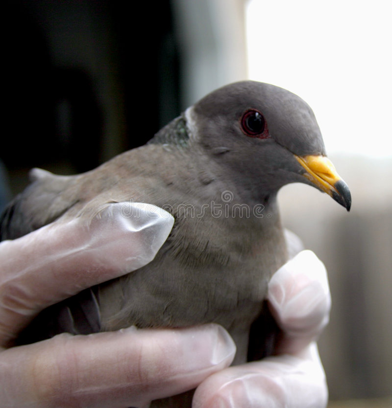 Injured Dove royalty free stock images