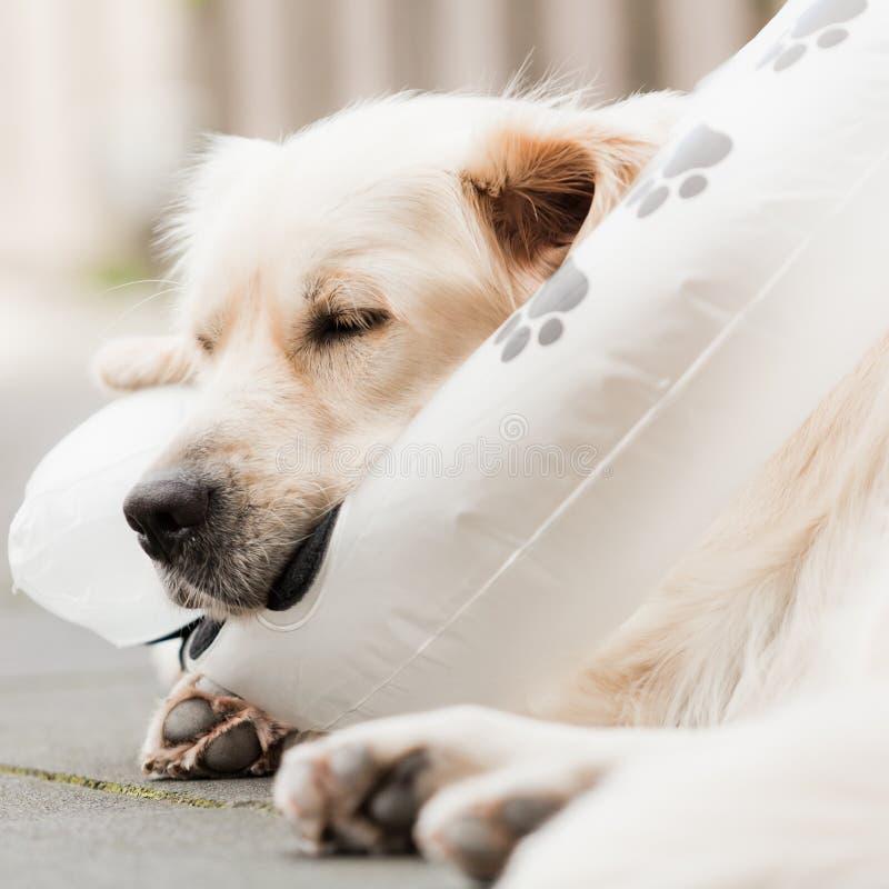 Injured Golden Retriever sleeping on neck brace. Dog resting on inflatable neck brace with eyes closed stock photos