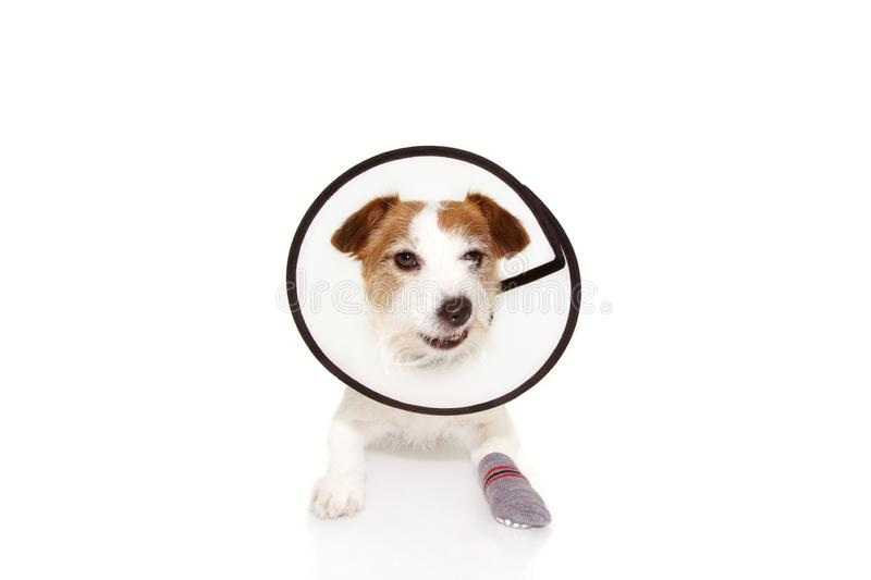 Injured sick dog wearing protective funnel collar and sock with angry expression. Isolated on white background stock photography