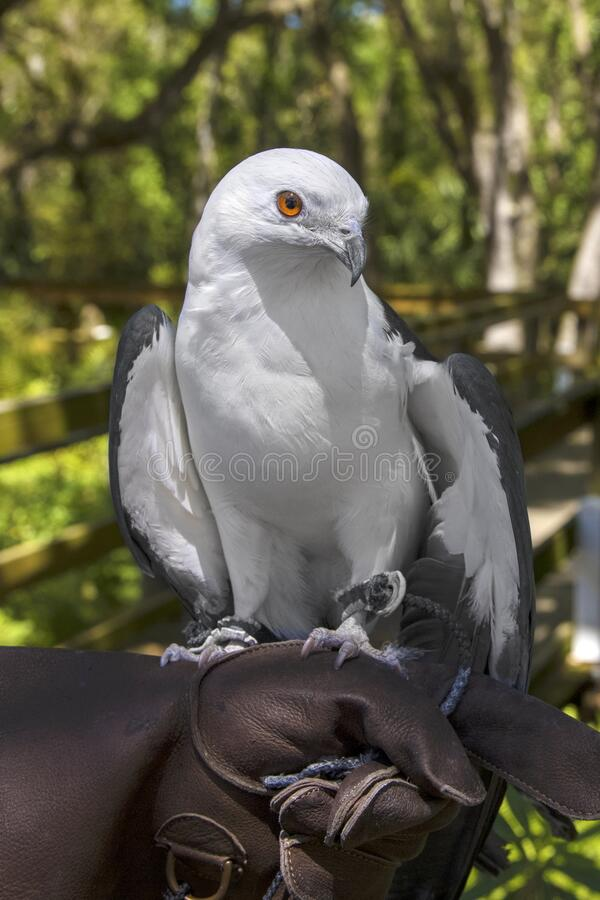Free Injured Swallow-Tailed Kite On The Hand Of A Handler, Closeup Royalty Free Stock Photos - 216361468