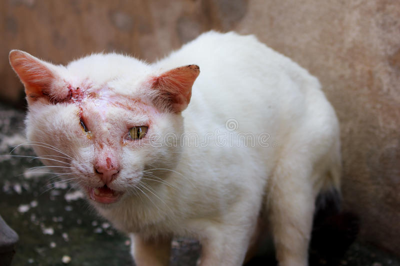 Injured white cat stock images