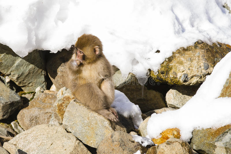 Injured Wild Baby Snow Monkey on Rocks. A wild furry baby snow monkey nurses a scarred injury, a stump with a missing hand or paw, while sitting in the sun on royalty free stock photography
