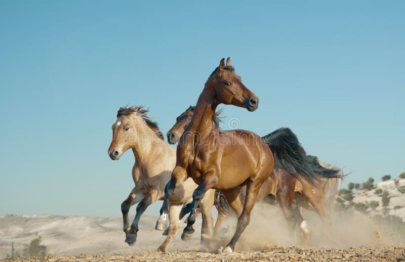Inkörda hästar ett löst arkivfoton
