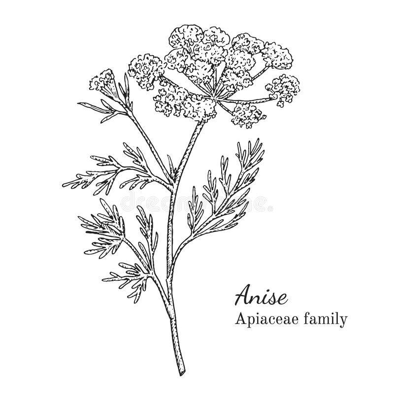 Ink anise hand drawn sketch. Ink anise herbal illustration. Hand drawn botanical sketch style. Absolutely vector. Good for using in packaging - tea, condinent stock illustration