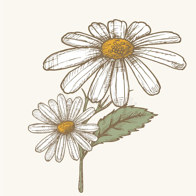 Ink chamomile herbal illustration. Hand drawn botanical sketch style. Absolutely vector. Good for using in packaging - tea, condinent, oil etc - and other vector illustration