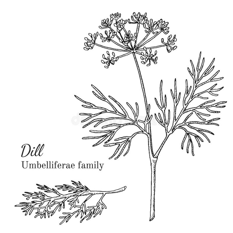 Ink dill hand drawn sketch. Ink dill herbal illustration. Hand drawn botanical sketch style. Absolutely vector. Good for using in packaging - tea, condinent, oil royalty free illustration