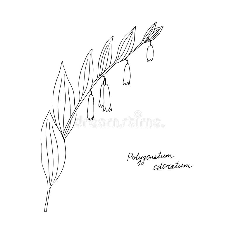 Ink drawing plant of Solomon Seal vector illustration