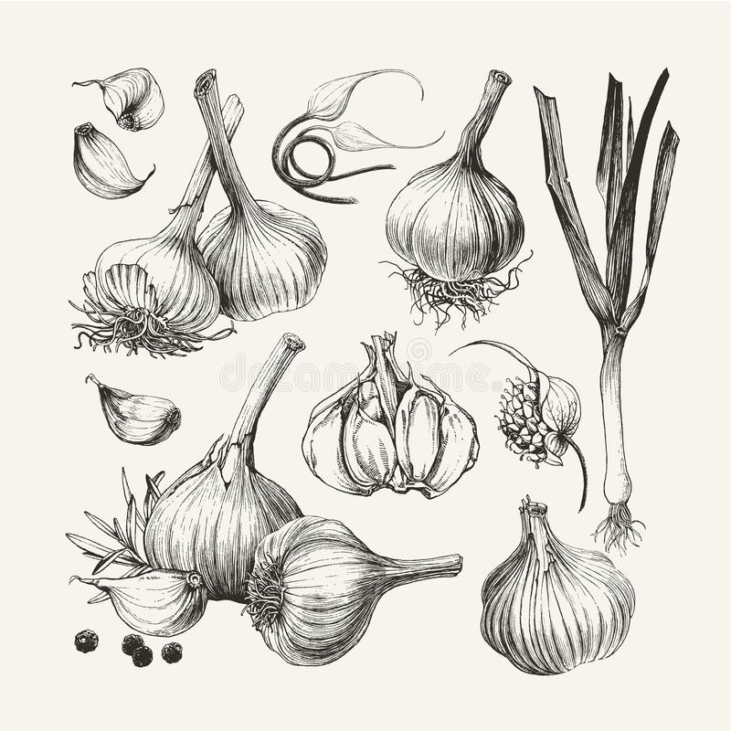 Free Ink Drawn Collection Of Garlic Stock Photo - 104544970