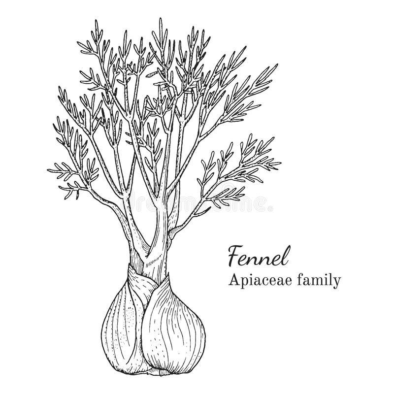 Ink fennel hand drawn sketch. Ink fennel herbal illustration. Hand drawn botanical sketch style. Absolutely vector. Good for using in packaging - tea, condinent stock illustration