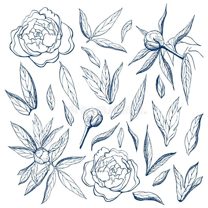 Ink free hand drawn peonies collection. Pencil sketch of flower and leaves on sheet of paper. flower,branches,buds and leaves of. Ink free hand drawn peonies stock illustration